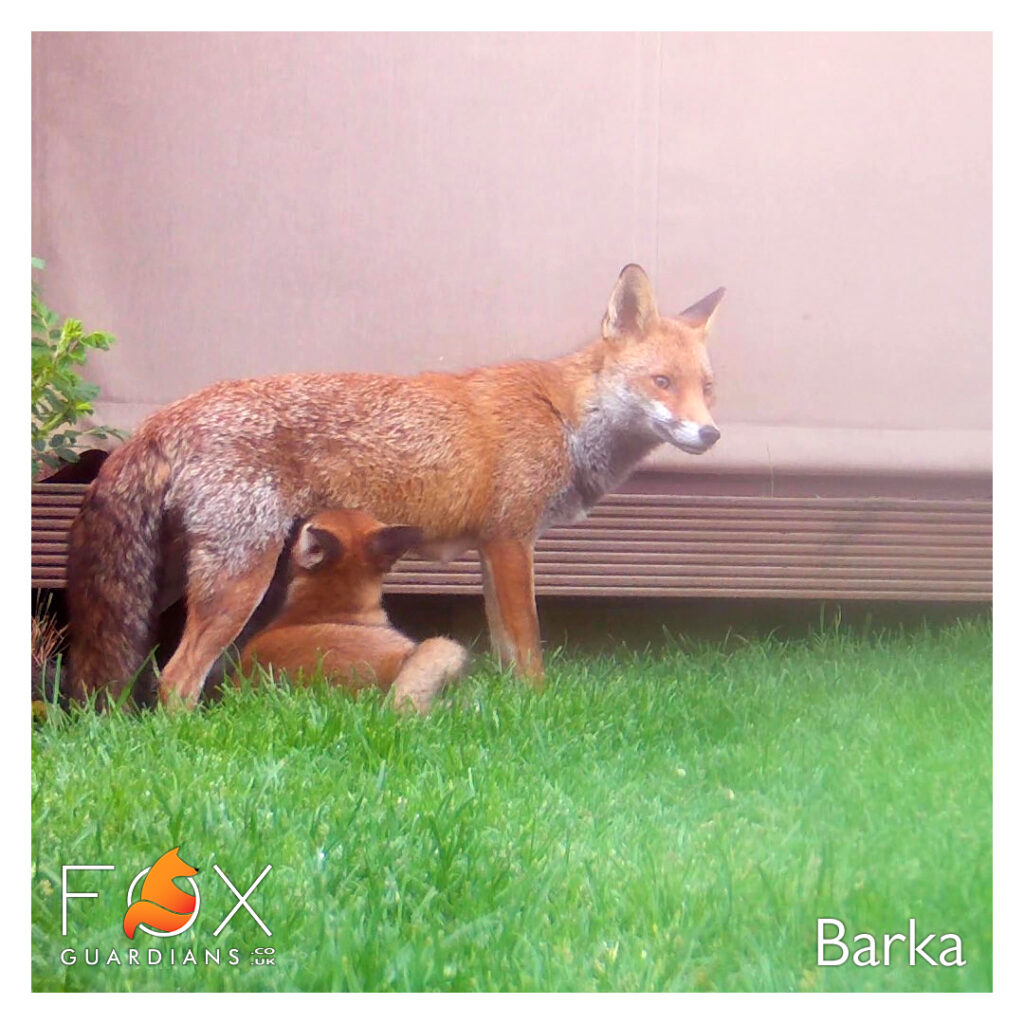 Picture of Barka feeding her cub