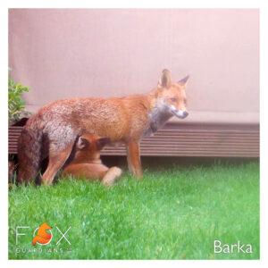 Barka the Fox
