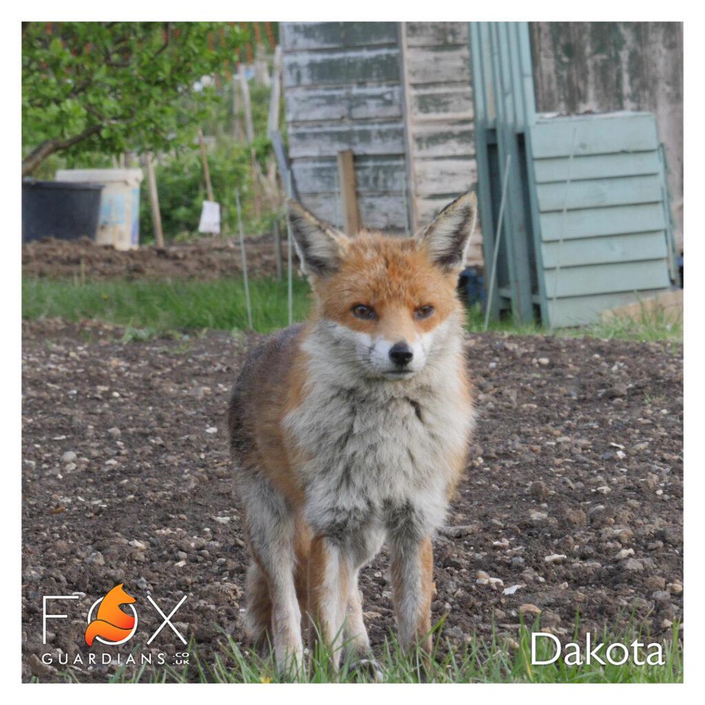 Dakota the Fox